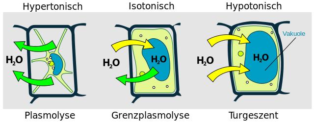 Osmotische Zustaende einer Pflanzenzelle