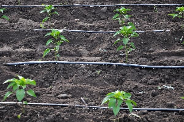 Troepfchenbewaesserung in der Landwirtschaft